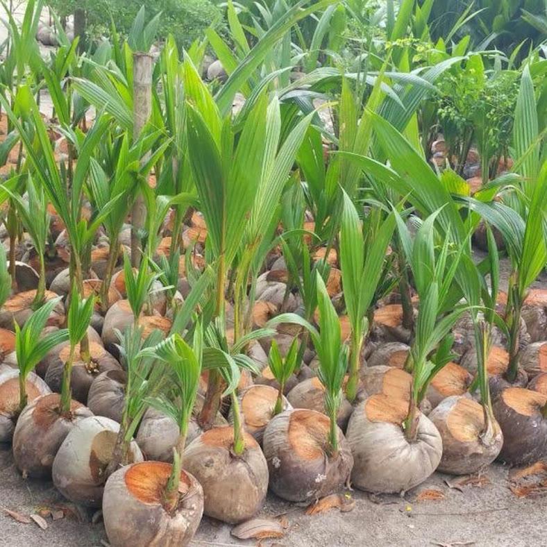 Bibit Kelapa Hijau Hibrida Genjah Asli Cepat Berbuah Sulawesi Tenggara