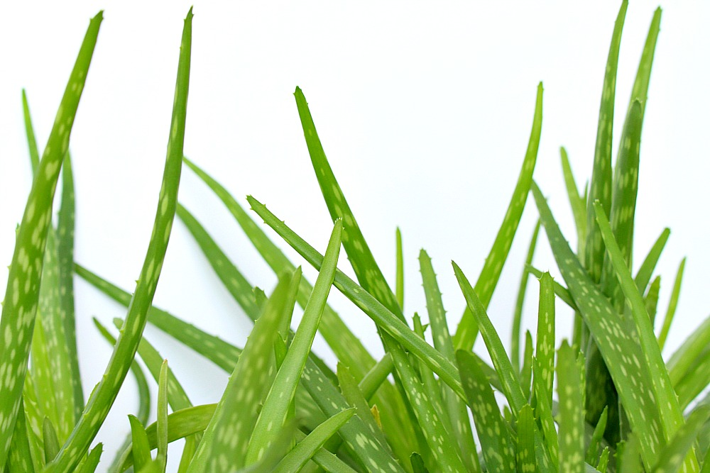 Benefits of Drinking Aloe