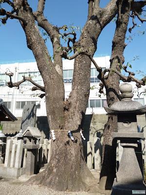 野江水神社神木