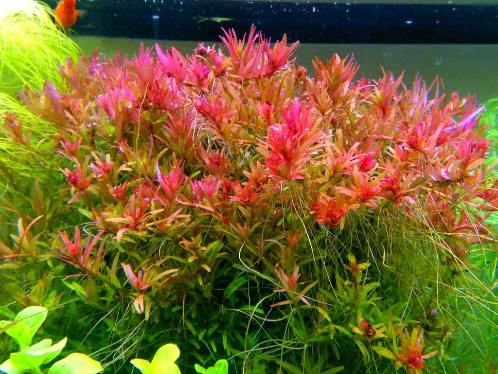 cây thủy sinh vẩy ốc đỏ có màu đỏ hoặc hồng rất bắt mắt