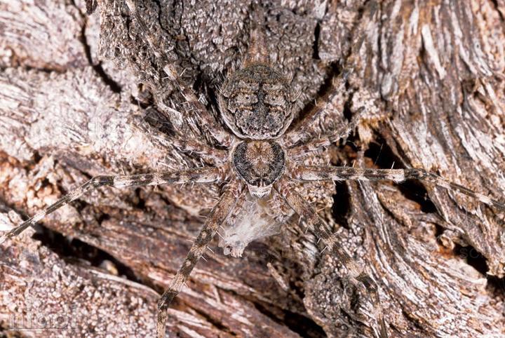 Bark Spiders si hewan yang bisa menyamar