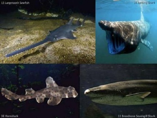 Saving sharks with trees: researchers aim to save key branches of shark and ray tree of life