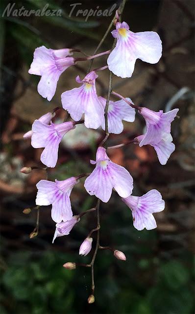 Flores de Ionopsis utricularioides