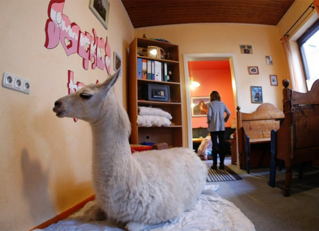 A three-year-old llama nicknamed Sockhe has been living in the Nicole Depper family from the German city of Muelheim. After a complex fracture by other animals, the llama had to amputate her leg. Now she likes to relax in the family dining room.
