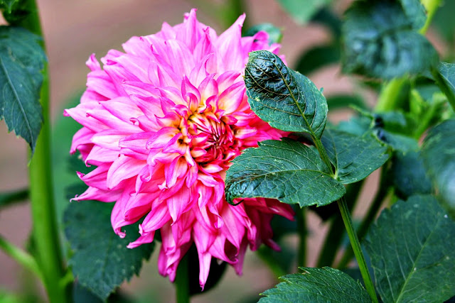 garden, gardening, pink, dahlia, homegrown, flowers