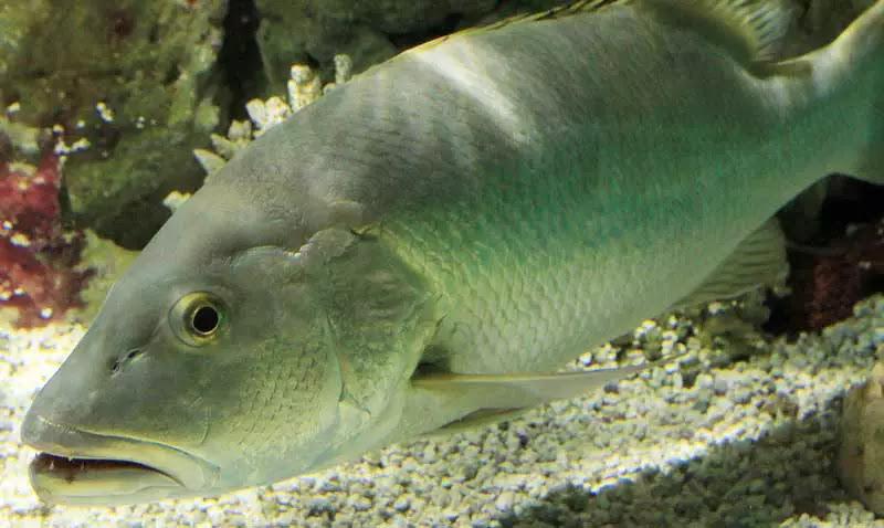 jenis Ikan Kakap Cubera