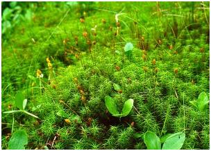Klasifikasi Tumbuhan Lumut dan Tumbuhan Paku