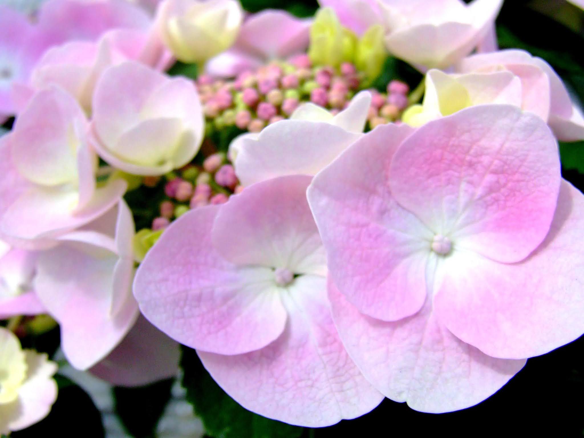 ピンクと白のグラデーションがキレイなガクアジサイのドアップの写真素材です。淡くて優しい雰囲気が良いですよね。梅雨の時期のブログ記事などにどうぞ。