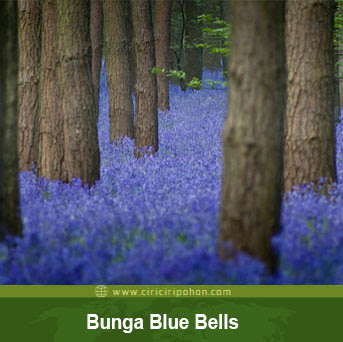 ciri ciri pohon bunga blue bells