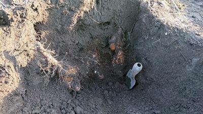 移植ゴテを差し込んで「とっくり芋」を土から離します