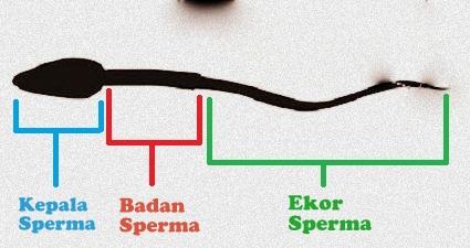 Bagian Sperma Yang Mengandung Informasi Genetik Adalah