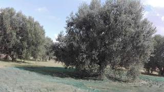 القصرين : انطلاق موسم جني الزيتون و تراجع الصابة بحوالي النصف مقارنة بالسنة الفارطة