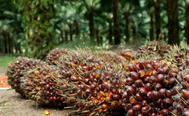 Pengelolaan Kelapa Sawit Di Riau Bisa Jadi Inspirasi Banyak Negara
