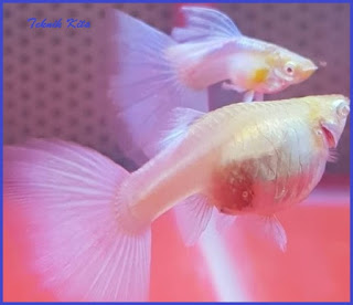 jenis ikan guppy cendolan hamil