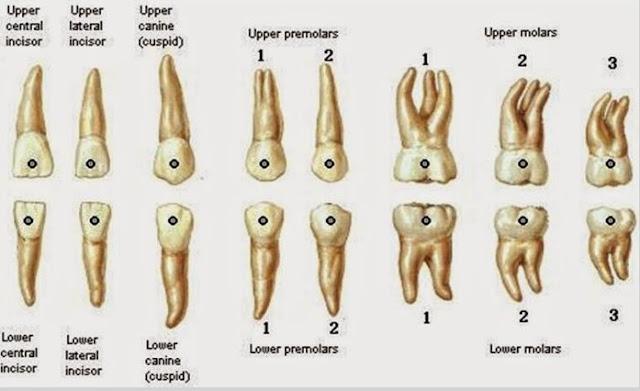 Bagian-Bagian Gigi Manusia