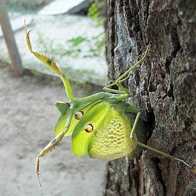 Mantis verde (Stagmatoptera hyaloptera)