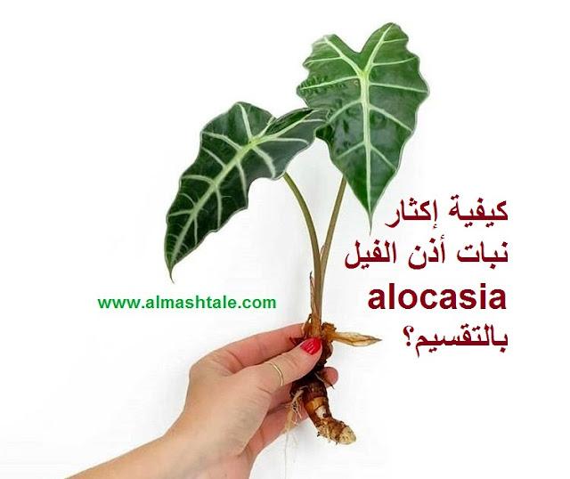 جديد كيفية إكثار نبات أذن الفيل alocasia بالتقسيم؟
