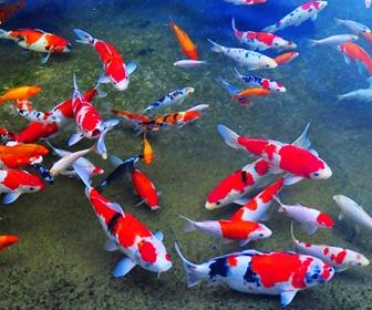 Ikan Mas hias Koi - cianjur update