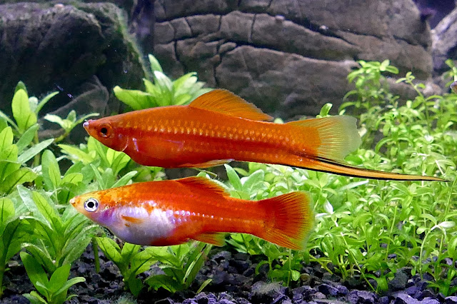 male swordtail fish and female swordtail fish