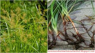 Manfaat dan Khasiat Rumput Teki
