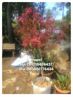 Harga jual pohon mapel daun merah tanaman hias unik