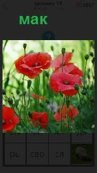 На поляне растет красный мак под солнечными лучами. На высоких стеблях, некоторые уже созрели