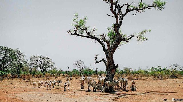 Árvores no deserto ajudam gado e homens