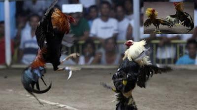 Kena Taji Ayam Jago di Selangkangannya, Pria ini Tewas Seketika