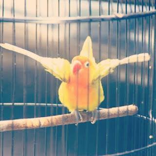 7 Trik Jitu Mengatasi Lovebird Over Birahi