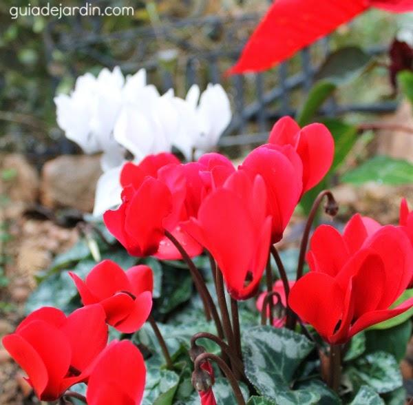Ciclamenes rojo y blanco