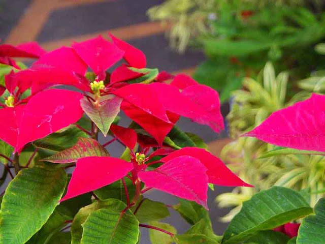 gardening, flowers, plants,  Poinsettia, Okinawa