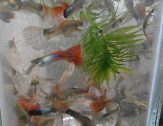 Cara Pelihara Ikan Guppy Paling Mudah Ikan Laga Hiasan