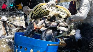 Perawatan Serta Panen Ikan Nila