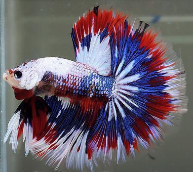 Jenis Jenis Ikan Laga