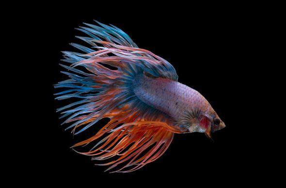 Gambar Ikan Cupang Serit