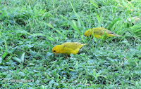 Saffron Finch pair in grass – Diamond Head near road – Oahu, HI – © Denise Motard