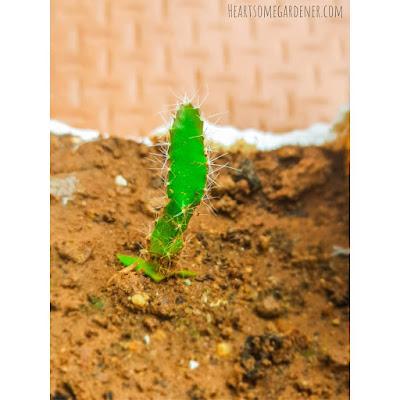 Dragon fruit seedling