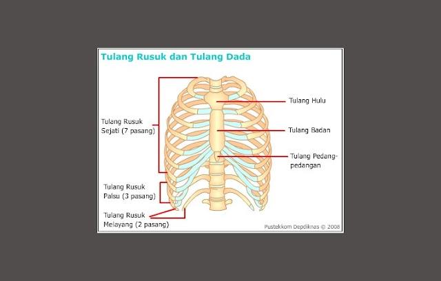 Tulang dada, Tulang Rusuk