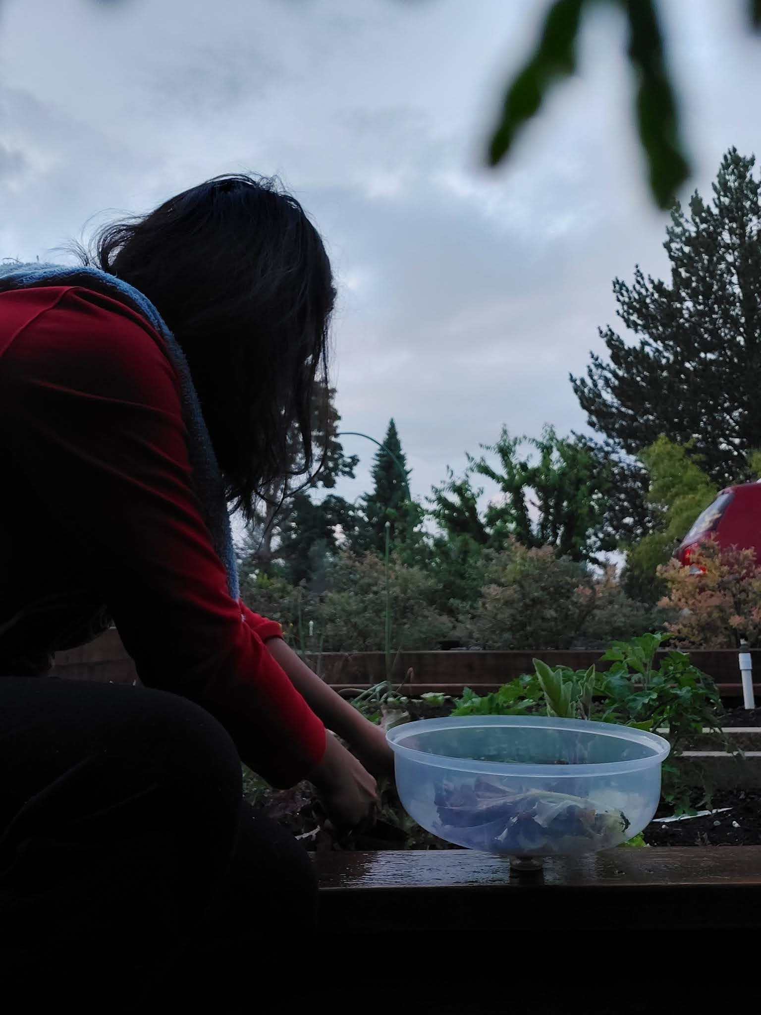 Harveting my lettuce in the garden
