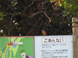 ジョウビタキ♀ バードウォッチング 11月③