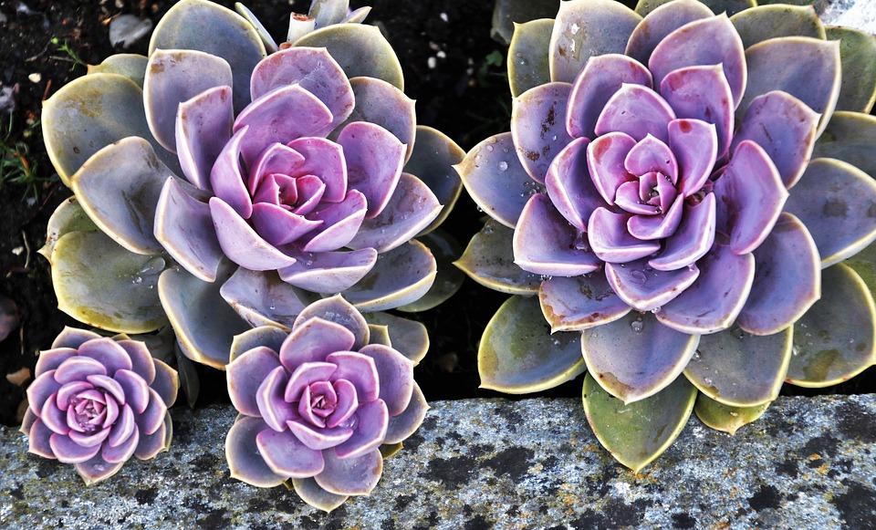 Suculenta color púrpura y morado