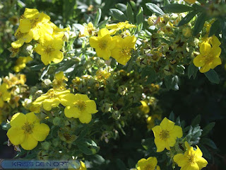 Potentille ligneuse - Potentille arbustive - Potentilla fruticosa - Dasiphora fruticosa