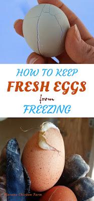 Chicken eggs | freezing