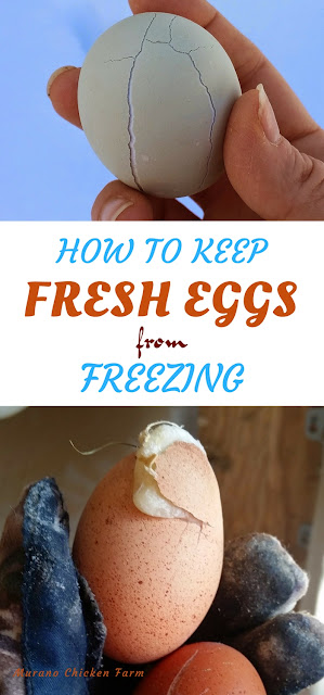 Chicken eggs | freezing