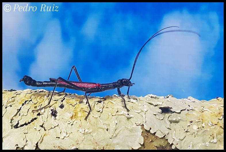 "Macho adulto de Orthomeria kangi ""Benguet"", 4 cm de longitud"