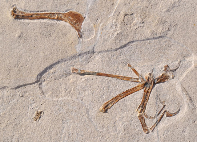 First birds: Archaeopteryx gets company