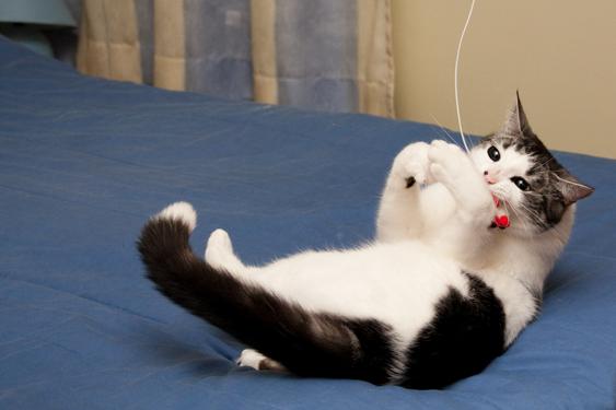 Kissan tunne-elämä, leikkisyys