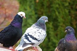 10 Jenis Burung Termahal didunia Saat ini