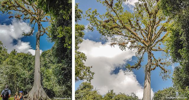 """Ceiba, """"a árvore da vida"""" para o povo maia"""