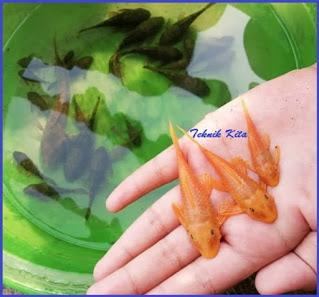 Jenis ikan sapu sapu albino